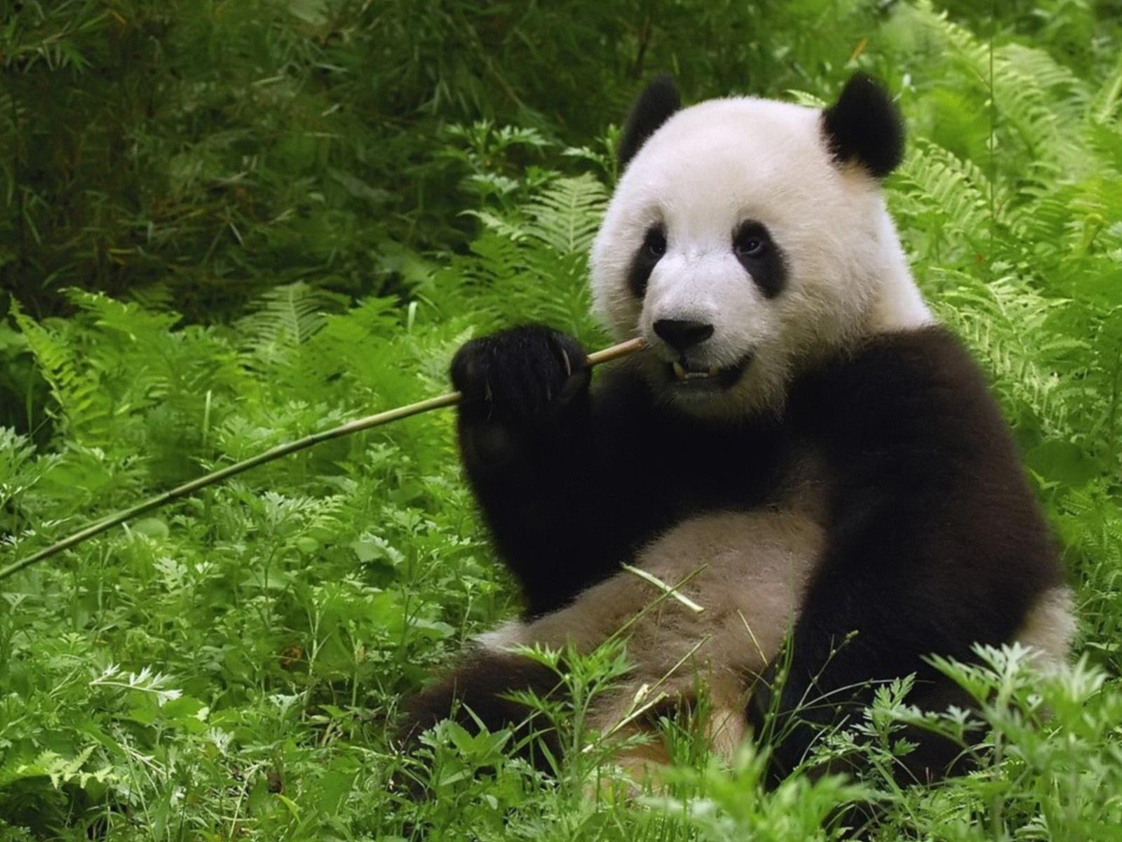 http://1.bp.blogspot.com/-AAkB3Uyf9VM/Tq0Eg-BFV9I/AAAAAAAABc0/Zu2hmeAZL98/s1600/Panda-In-Bamboo-Forest_wallpapers.jpg