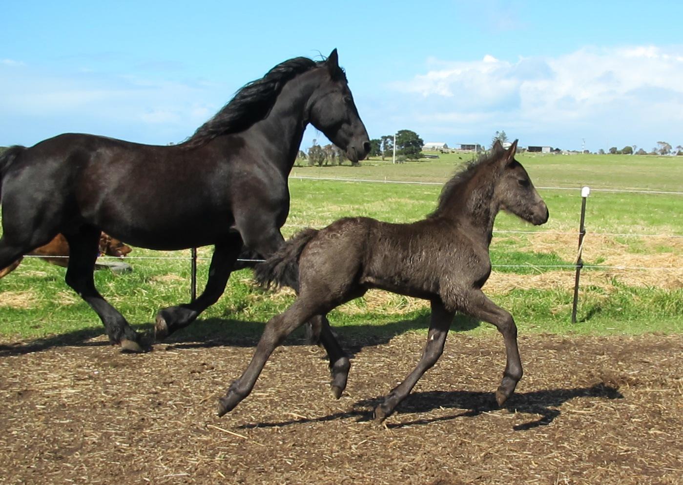 Sable Ranch Friesian Horses Black Beauty Born Silver When Your