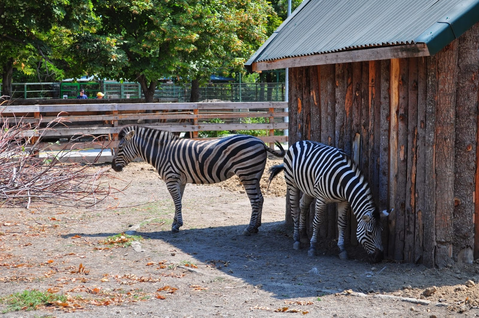 zebre constanta