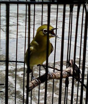 burung dijemur, pleci dijemur