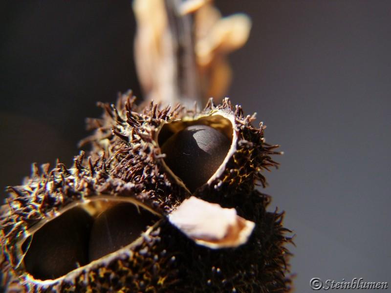 Canna Blumenrohr