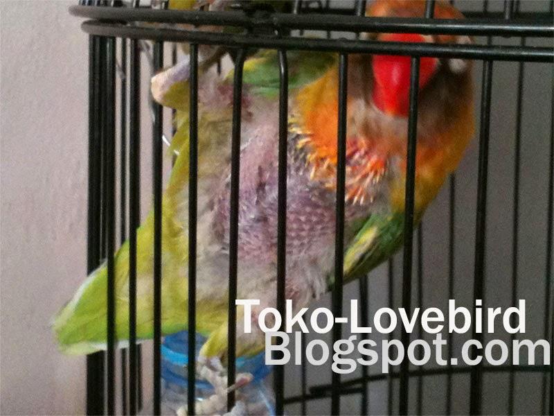 perawatan lovebird mabung