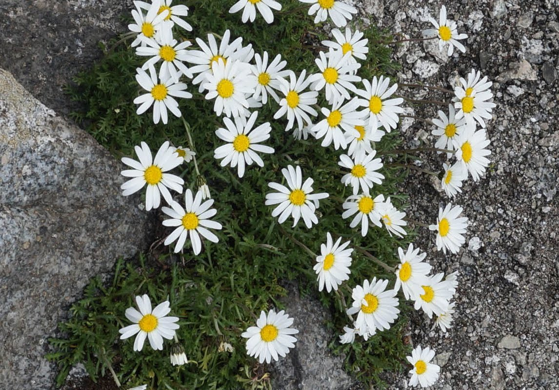 Leucanthemopsis Alpina (Margherita Alpina)