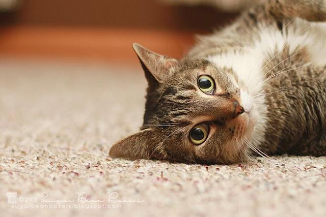 Bella Luna Cat Rescue