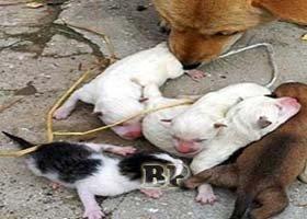 Anjing-Melahirkan-Kucing