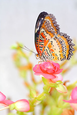 Mariposa sobre las flores - Butterfly and flowers