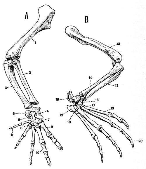 alligator limbs A & B