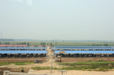 Cattle feeding operation in rural China