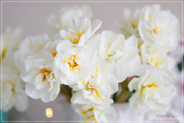 White Narcissus Daffodils Close Up