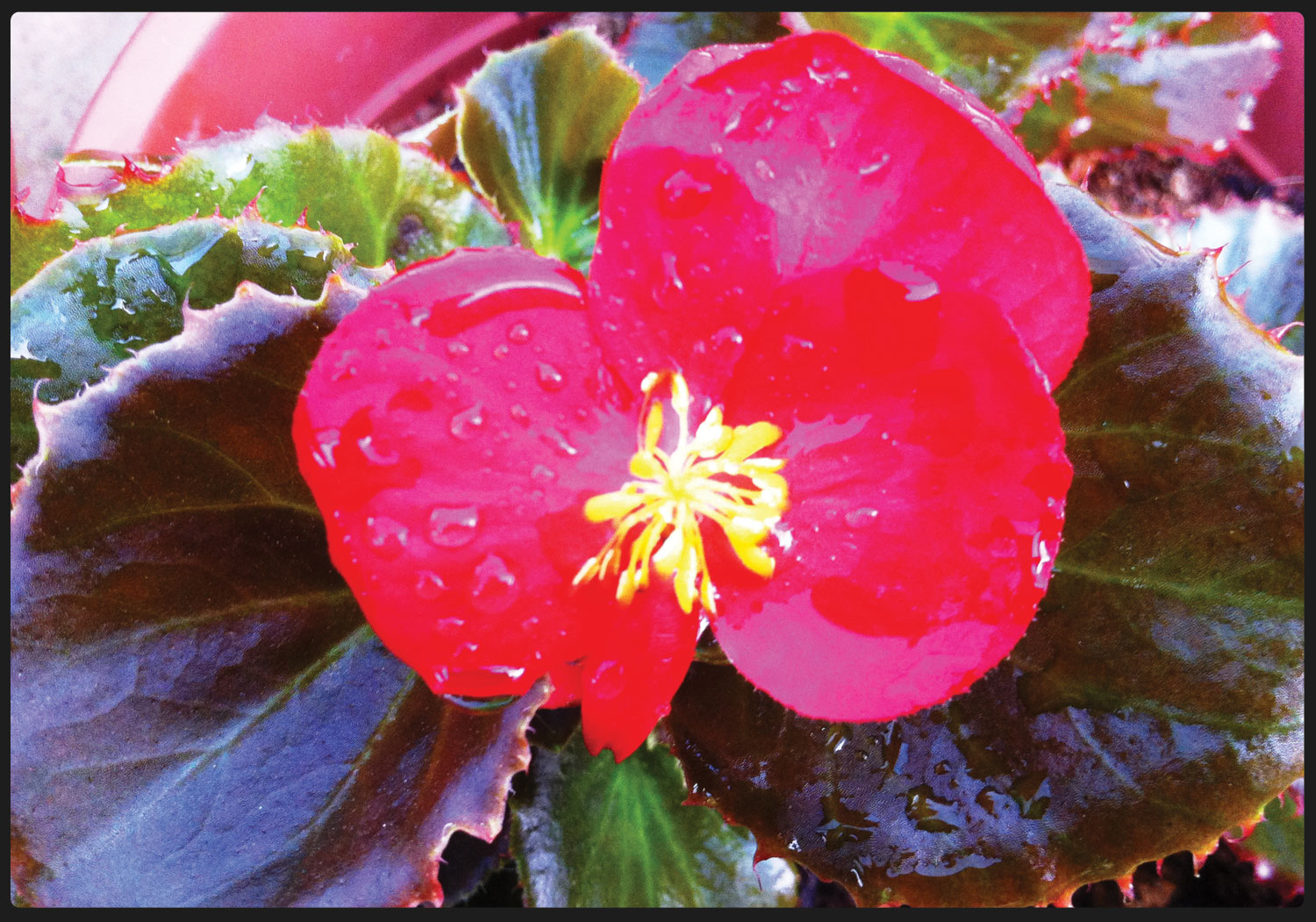 Doo guan nursery begonia is a genus in the flowering plant family begoniaceae and is a perennial the only other members of the family begoniaceae are hillebrandia mightylinksfo