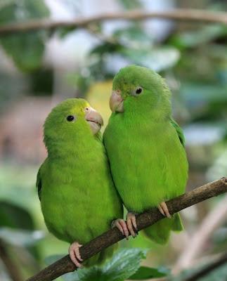 Parrotlets Picture