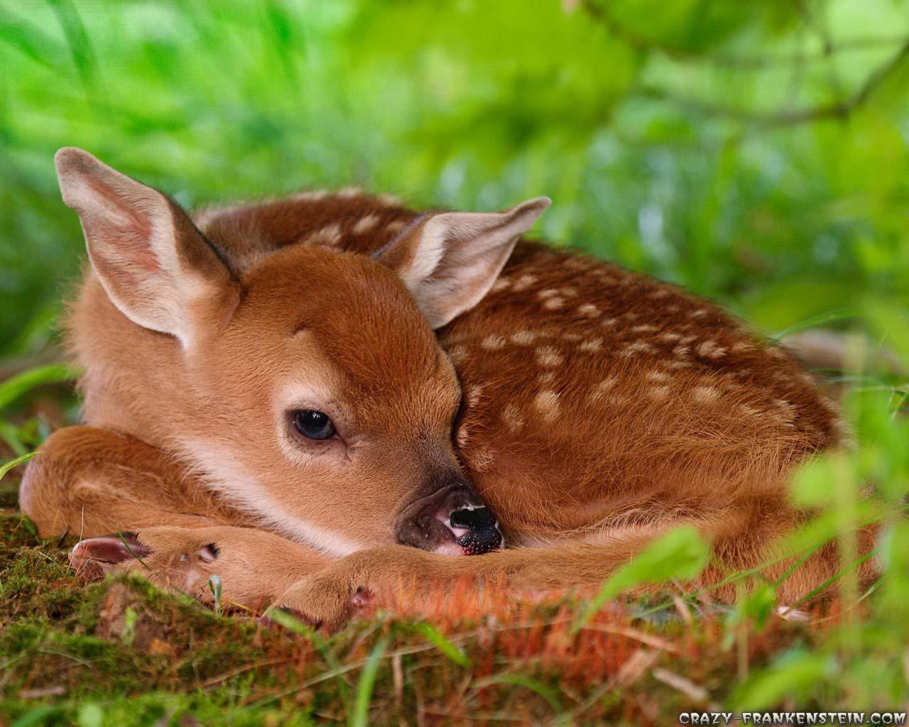 http://1.bp.blogspot.com/-ADL5I9JINJg/TzC0nMuy2OI/AAAAAAAAElA/--_VuhuwmoM/s1600/deer_wallpaper---0005.jpg