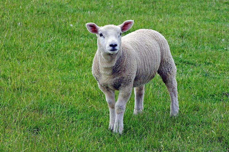 Buy wallart of Spring Lamb