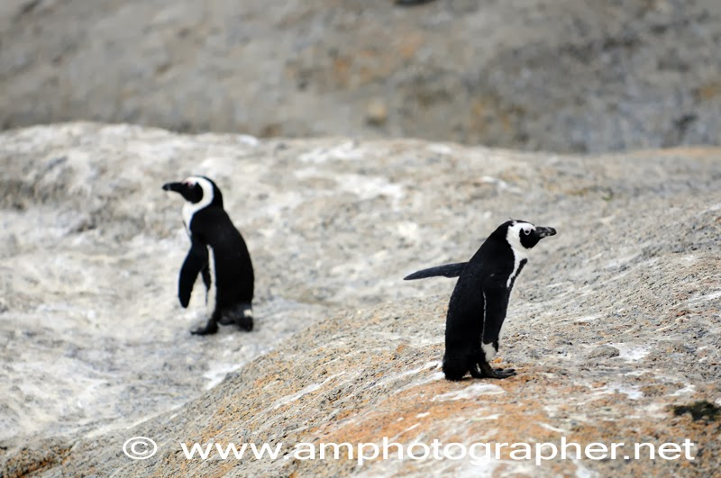 Pinguini a Boulders Beach