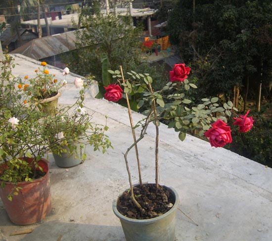 Beautiful Rose On My Roof