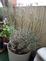 Le pied de lavande en pot, qui plutôt que de créer de nouvelles pousses, préfère m'offrir des fleurs.