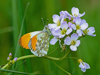 Male Orange Tip
