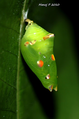 Pupa of Grey Count Butterfly