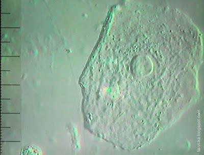 клетка кожи под микроскопом
