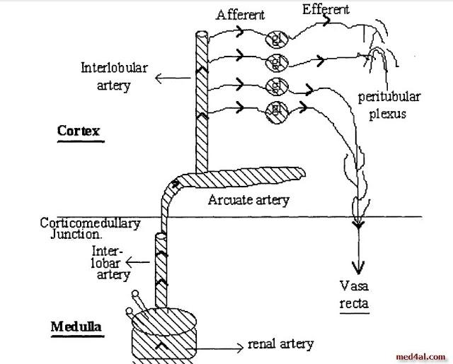 Intra-renal-circulation