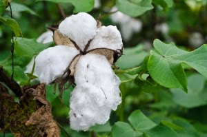 http://1.bp.blogspot.com/-AExNLTOQT_o/VD8hrUHwYnI/AAAAAAAAISE/1K45B7jJBng/s1600/american-southern-cotton-1365885-m.jpg