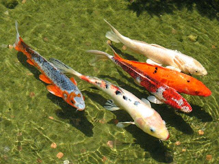 Four koi swimming