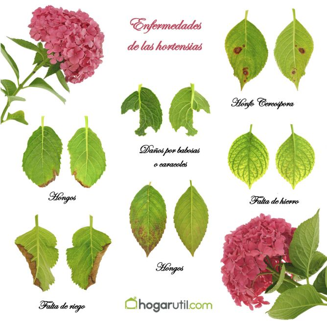 Flortograf a homenaje del mes de junio a las hortensias - Poda de hortensias epoca ...