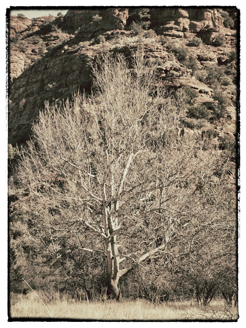 Winter Tree in Sedona Arizona near Oak Creek along the Baldwin Trail