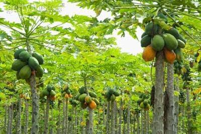 bintancenter.blogspot.com - Manfaat Buah Dan Daun Pepaya Bagi Kesehatan