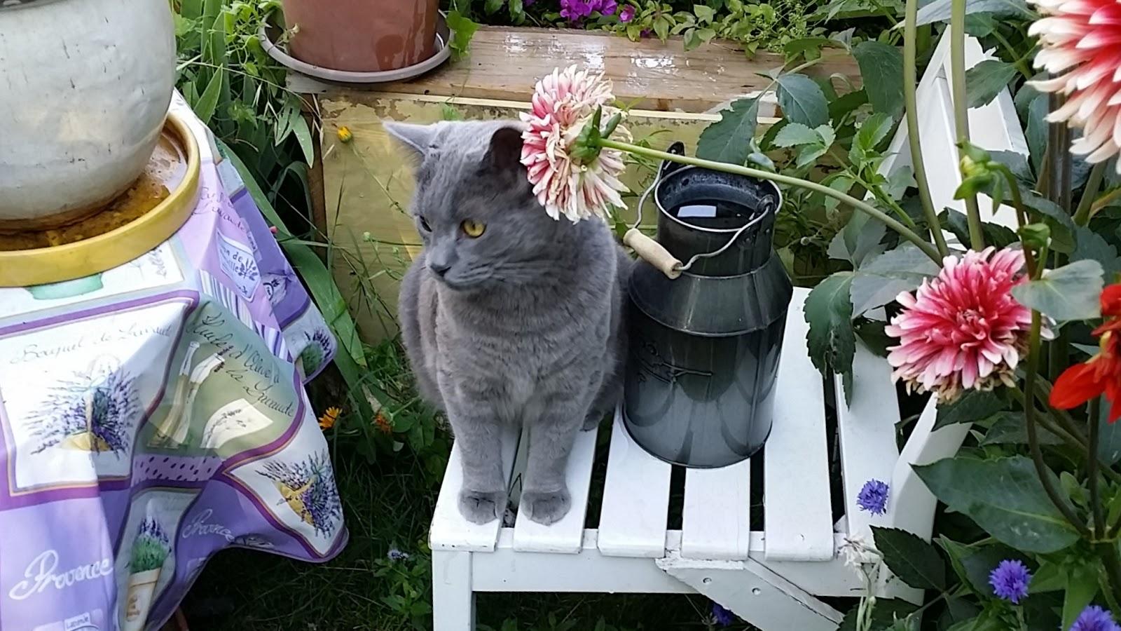 chat et dahlias