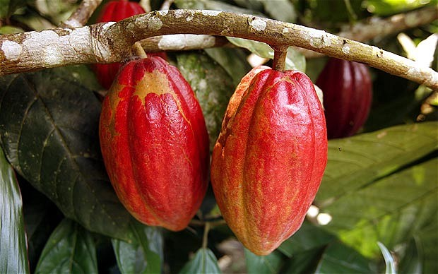 Cocoa Beans Chocolate Plant