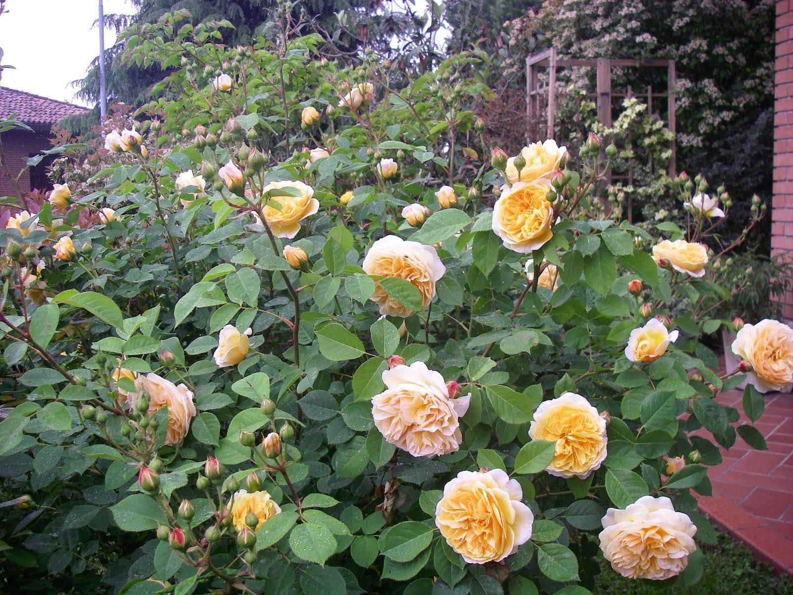 Le mie rose gialle - Rose inglesi D. Austin