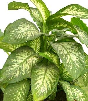 Stessa funzione di eliminare i veleni tossici che esalano dalle pitture è  svolta dalla dieffenbanchia, pianta perenne sempreverde con robusto fusto  robusto