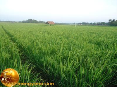 Sawah yang hijau karena tanaman padi...