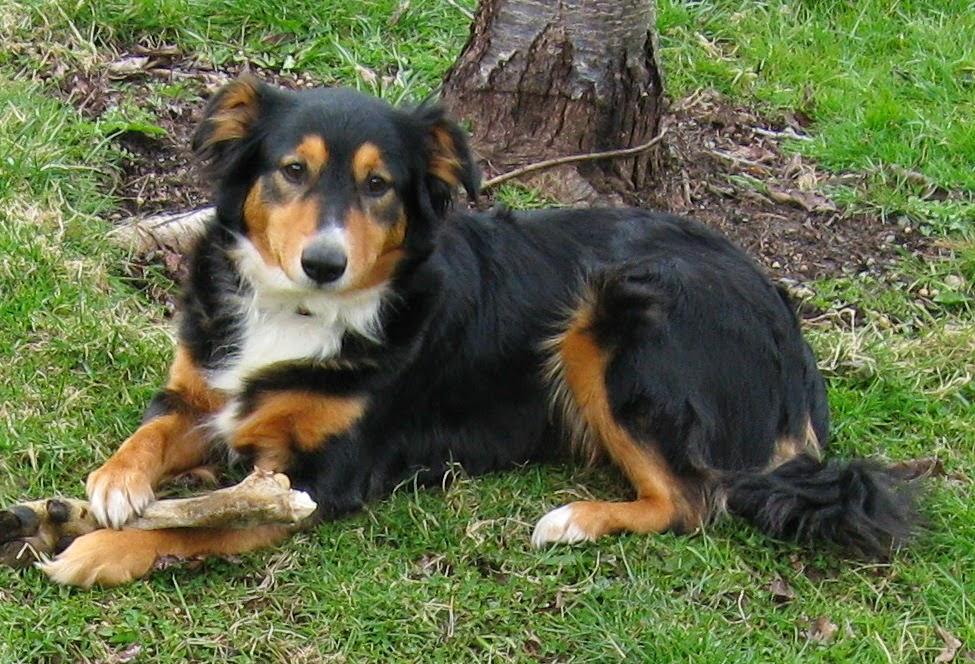 Nika's Dog Blog: 25 Tricolor Dog Breeds