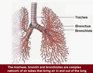 Bronchi-Bronchioles | Chapter-6 Life  Processes | CBSE Class 10 Scienc