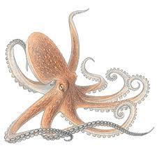 Contoh Artikel Pendek Bahasa Inggris Tentang Hewan (octopus )