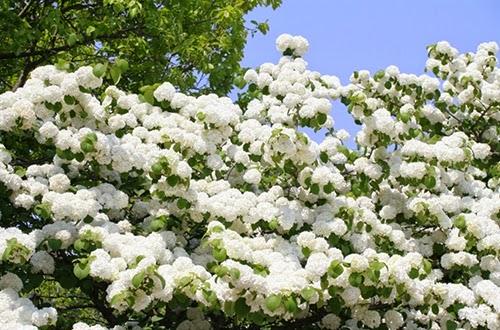 Đến Gia Lai ngắm hoa cà phê nở trắng trời