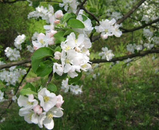 веточка, весна, april