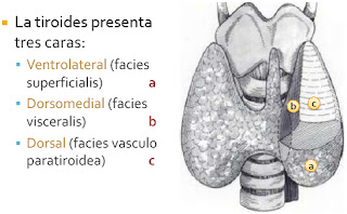 Qué es Hipertiroidismo