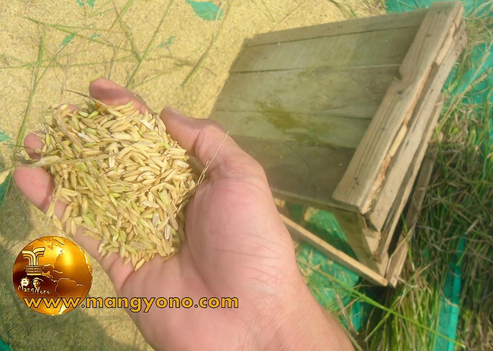 FOTO : Padi sudah dirontokan dengan cara digebotkan ke Gebotan kayu, seperti terlihat di Foto.