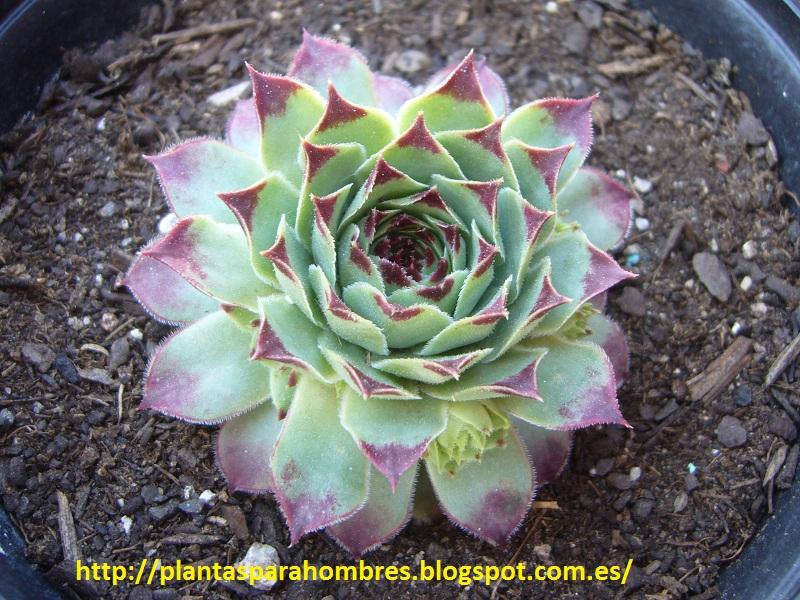 Plantas para hombres: Sempervivum Calcareum, siempreviva
