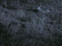 Blog Safari Club, video de Leopardo cazando en plena oscuridad