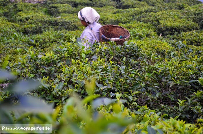The Tea Gardens Of Darjeeling – A Photo Essay - Voyager For Life
