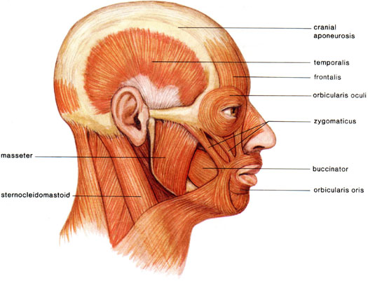Medical Transcription: Muscles of the Head and Neck