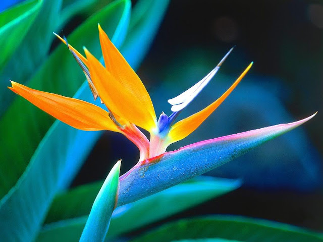 the bird of paradise