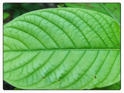 Kratom Leaf Picture
