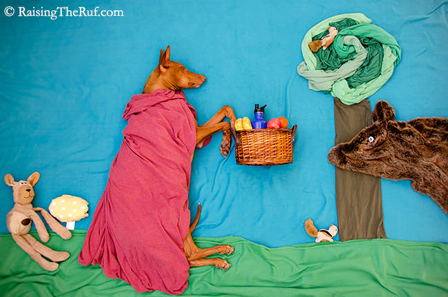 red riding hood dog pharaoh hound