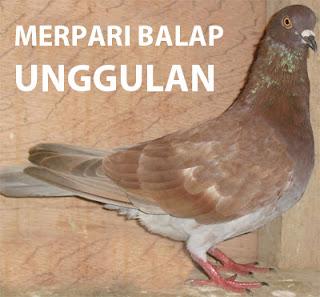 cara memilih merpati balap dunia burungku