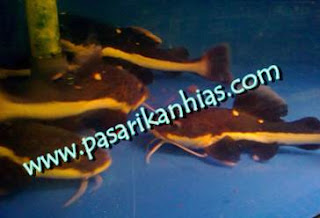 Jual Ikan Hias Di Denpasar Bali